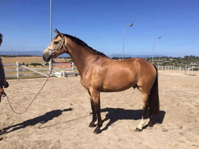 15.3hh 8yo ASH X by Goldmine Mirage