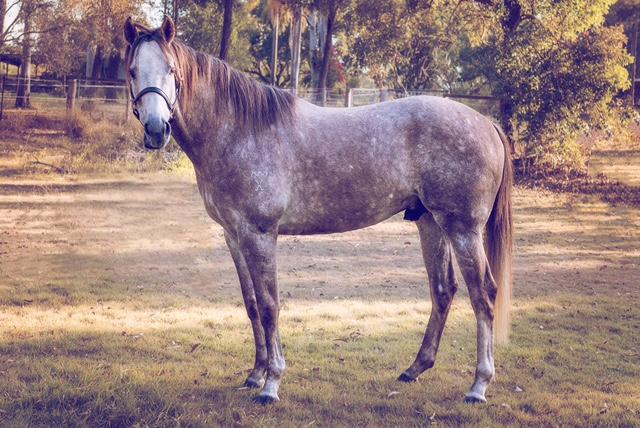 """Dane of Thrones"" - Magnificent TB Stallion"