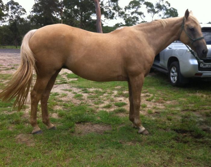 Palomino Society Reg append. mare. Riding/Breeding