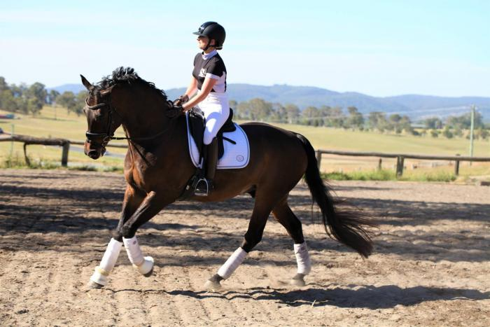 Medium Trained Dressage Gelding