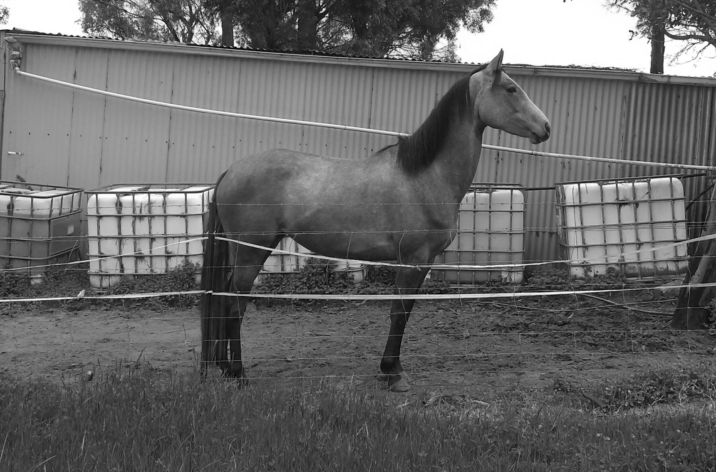 Galloway mare