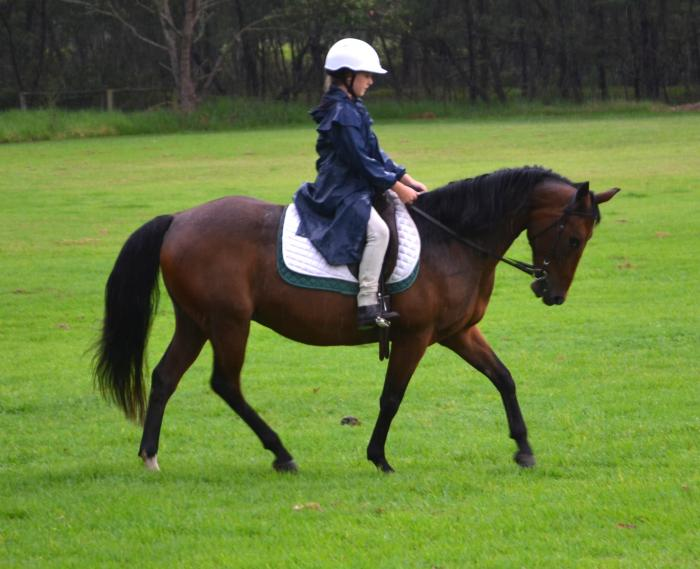 Gorgeous friendly Stock Horse with gentle nature