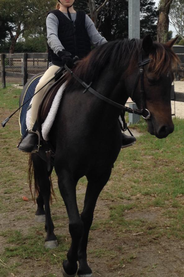 12.2 riding pony gelding