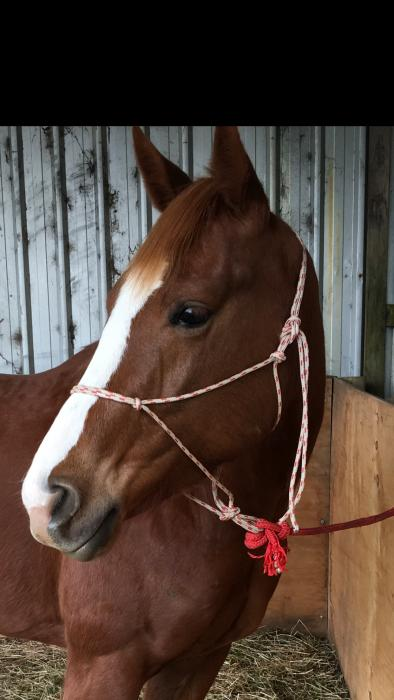 Purebred Chestnut QH Filly