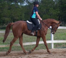 Super Quiet Anglo Arab Gelding (Red)