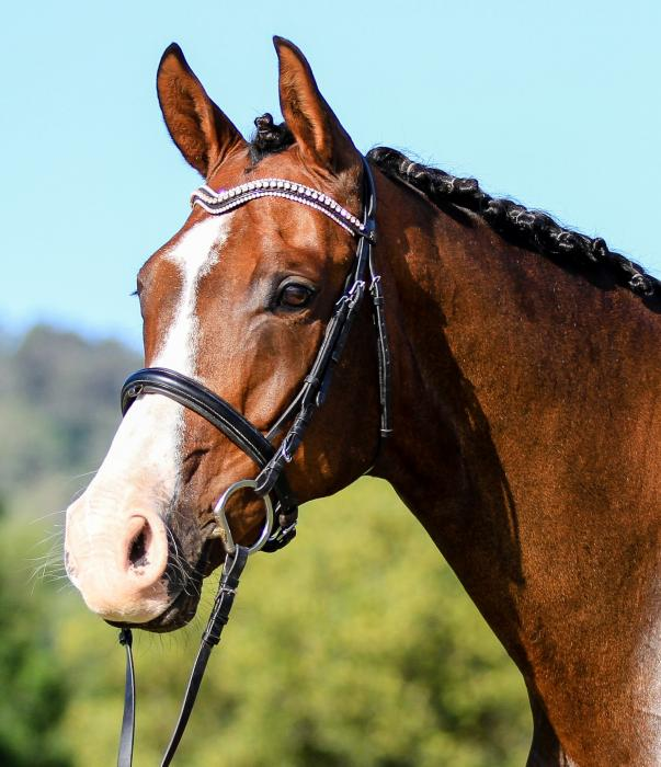 Hanoverian Mare in foal to Lauries As (imp)