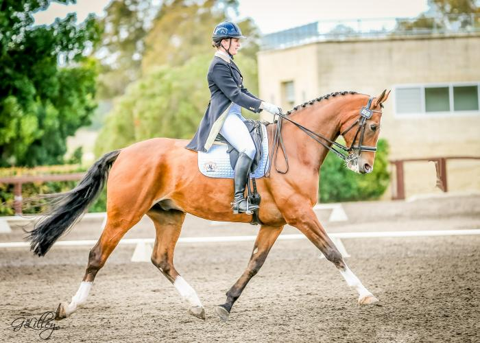 VERY URGENT SALE Australian Dressage Champion