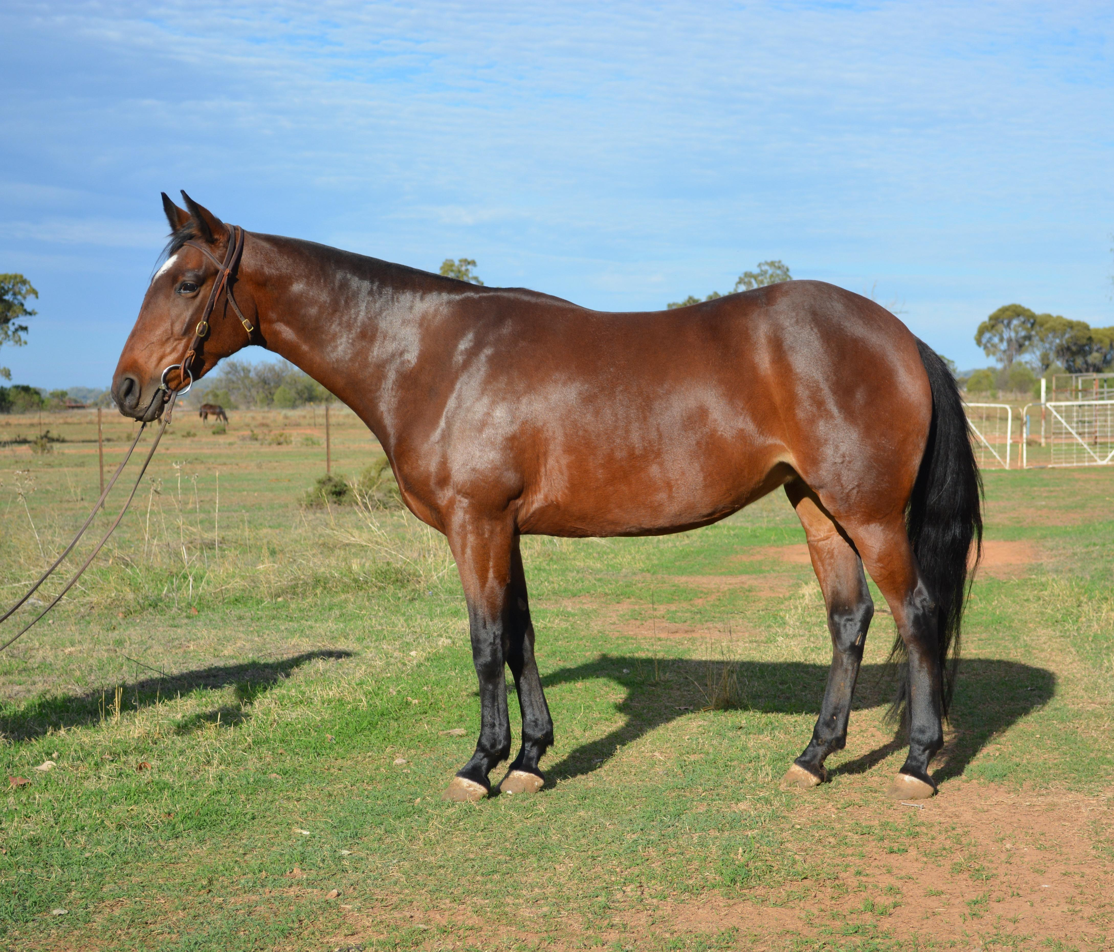 Exciting campdraft prospect by Knights Nicholas