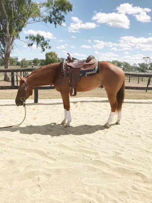 Stunning 4yo Quarter Horse Gelding