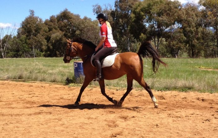 Bay Mare 14hh 7yo Trail and/or endurance