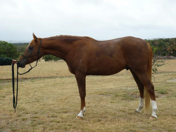 3 year old Arabian Gelding
