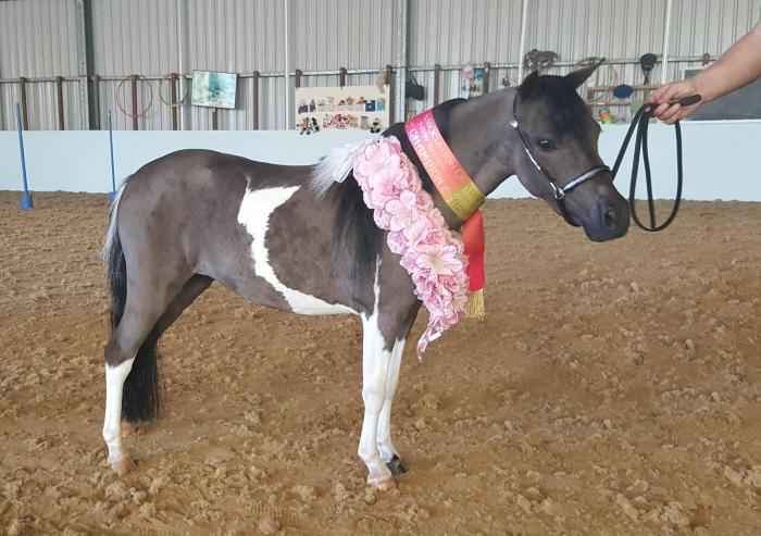 Pinto miniature horse filly