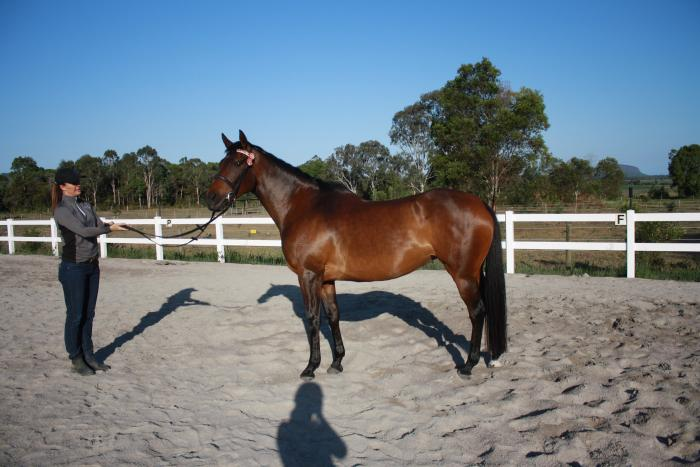 Hack / Jumping / Eventing / All Rounder Prospect