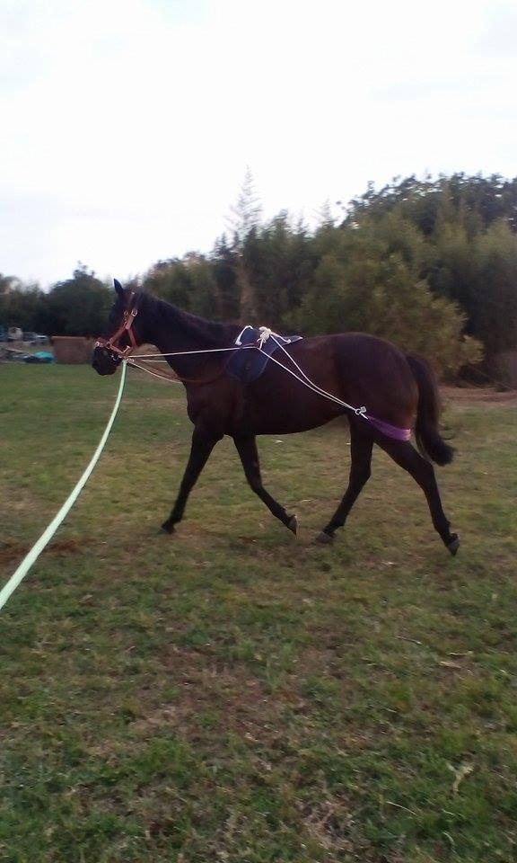 black gelding tb 16hh