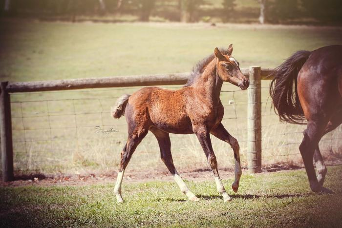 German Riding Pony Foal For Sale