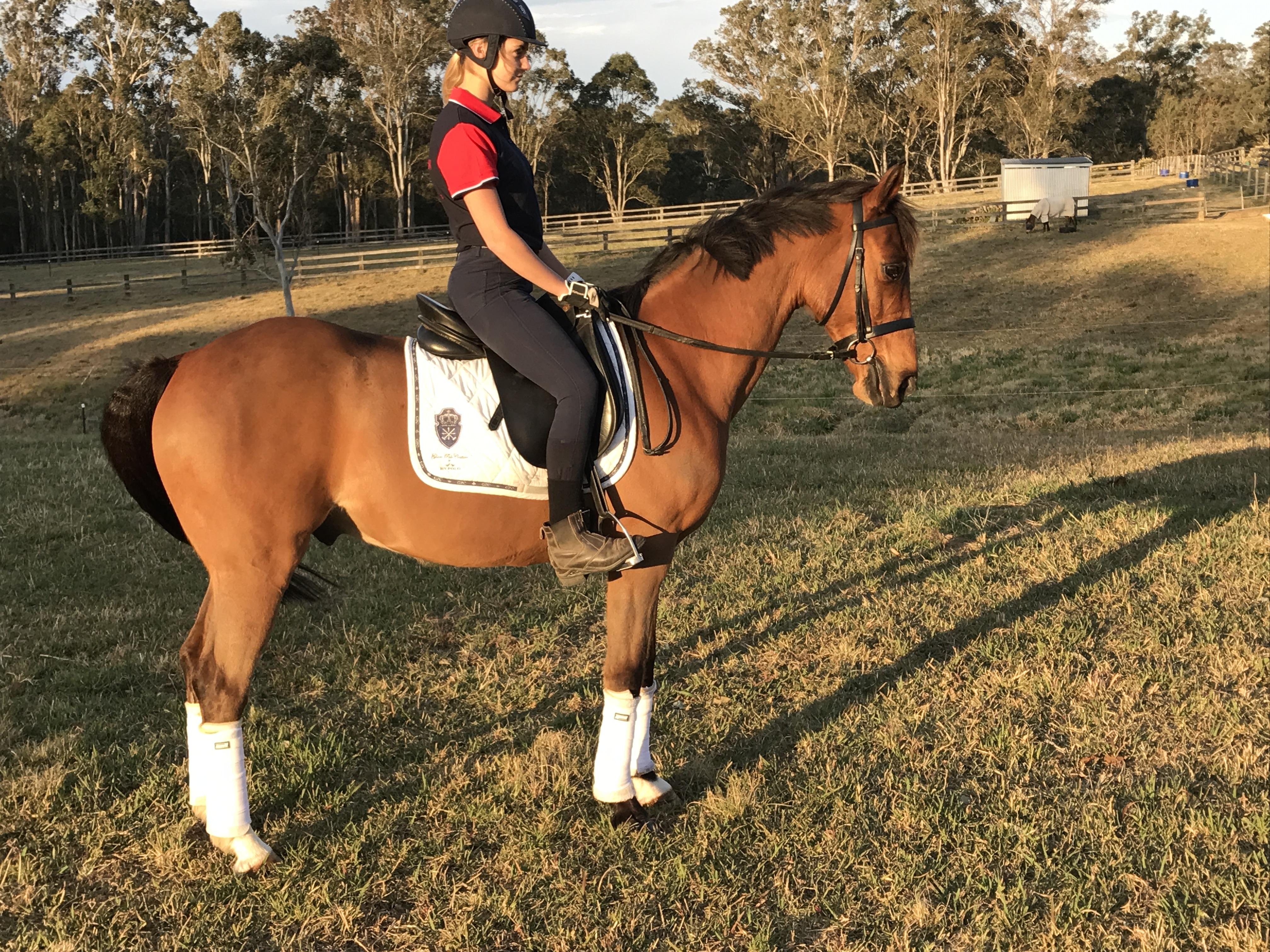 Anglo Arabian Gelding 11 Years