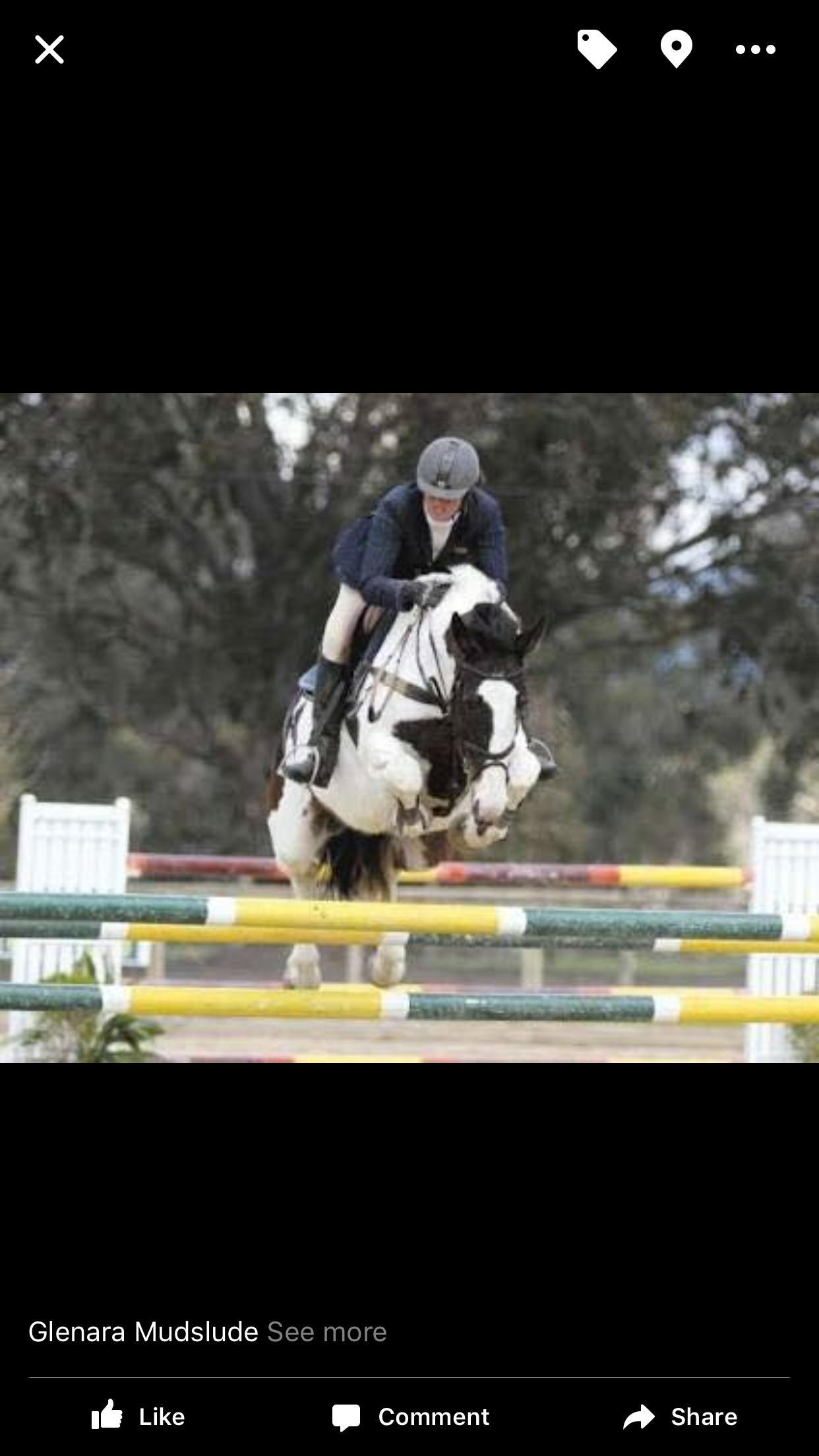 2016 pinto Warmblood gelding by Glenara Mudslide son !! Bred to jump!!