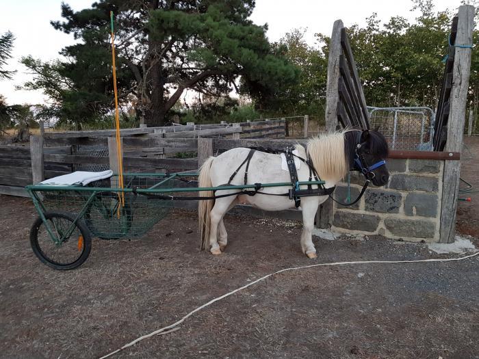 Harness pony