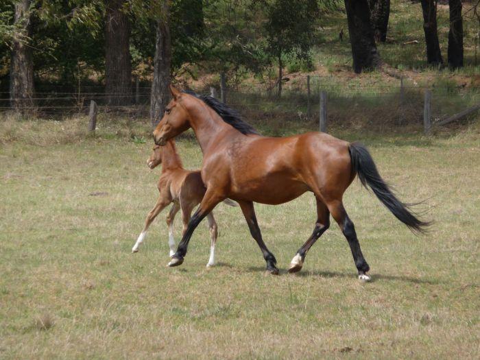 Very pretty pony broodmare