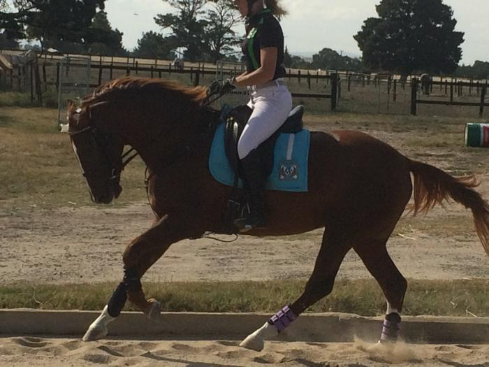 Stunning 4yr old WB mare