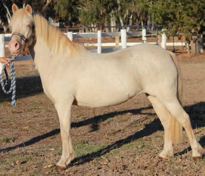 Perlino Part Bred Welsh Mare