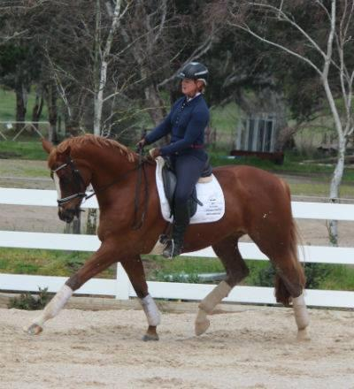 Eye catching talented warmblood gelding