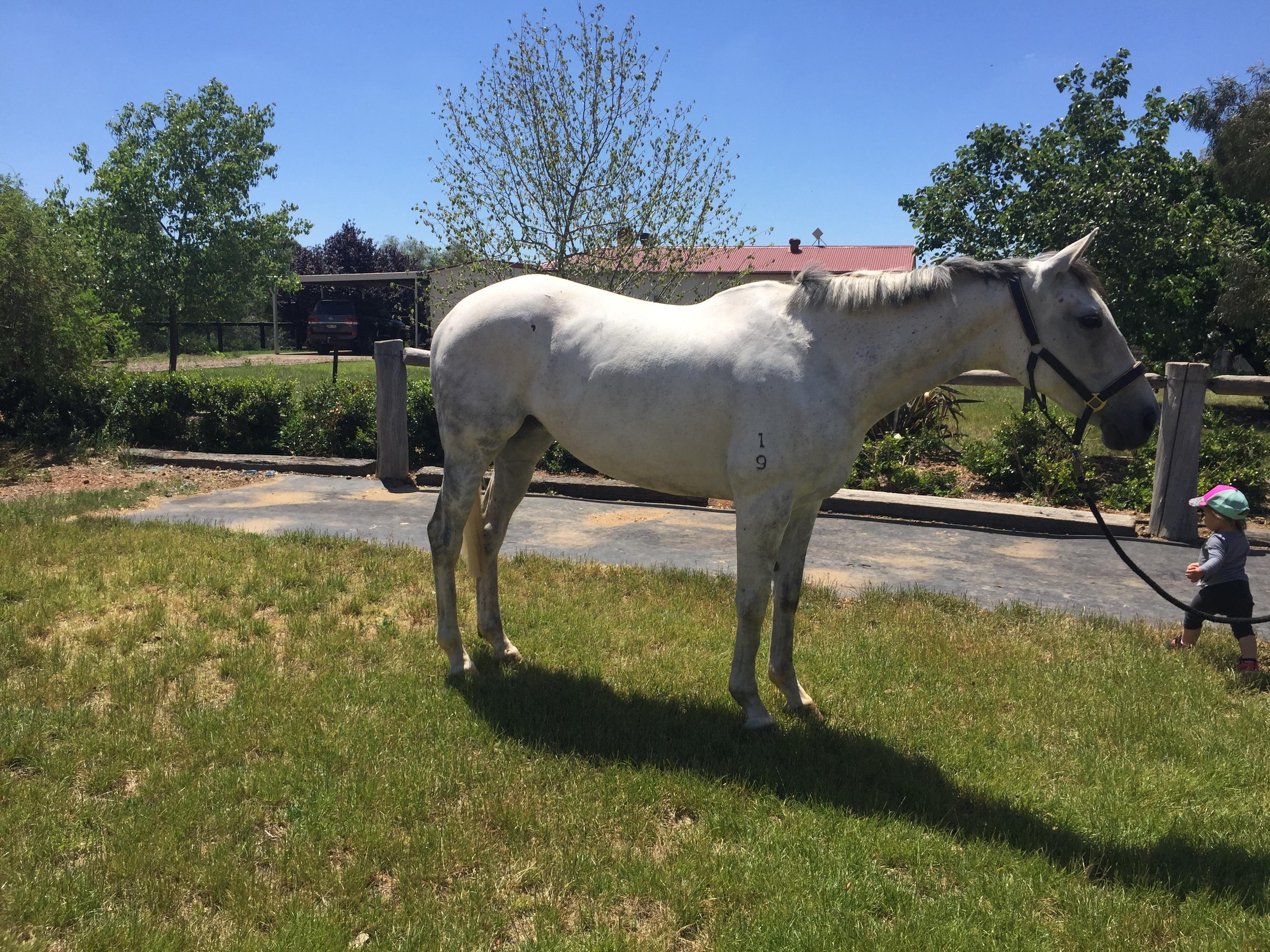 Quiet Thoroughbred mare
