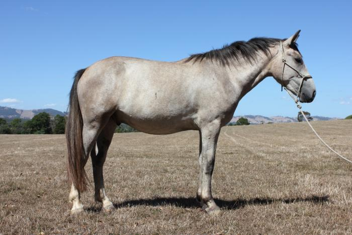 Purebred Irish Draught geld rising 3yo broken in