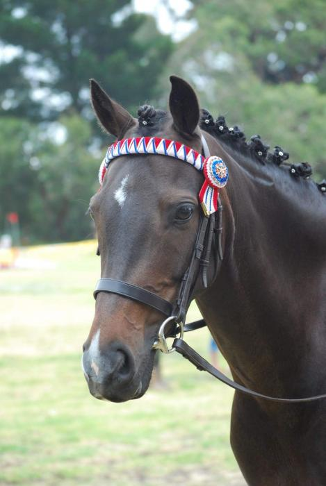 13.2hh Australian Riding Pony