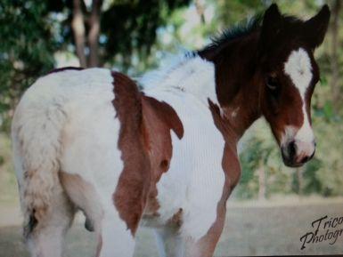 Ki as a foal