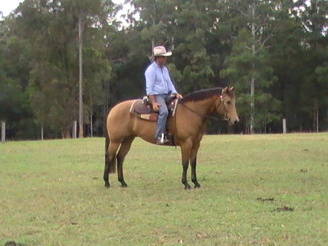 Buckskin gelding very Quiet