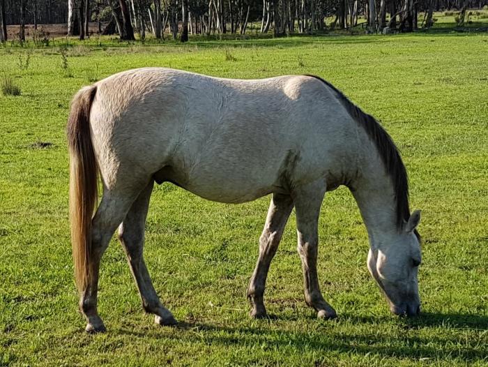 Buckskin Rising 2 Riding Pony / welsh Cross
