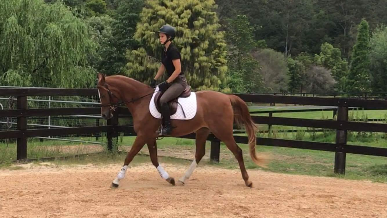Pure Bred Arabian Mare 4 Year Old