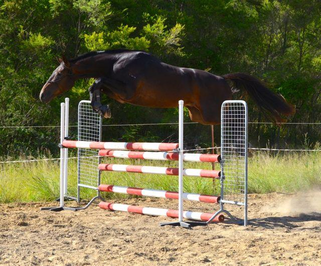 Exceptional young show jumping/eventing prospect