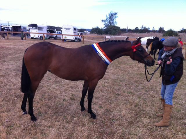 Stunning 13hh Royal Pony