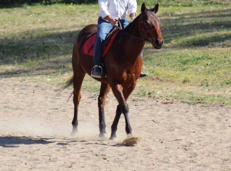 TB Gelding 7 yo - Great potential