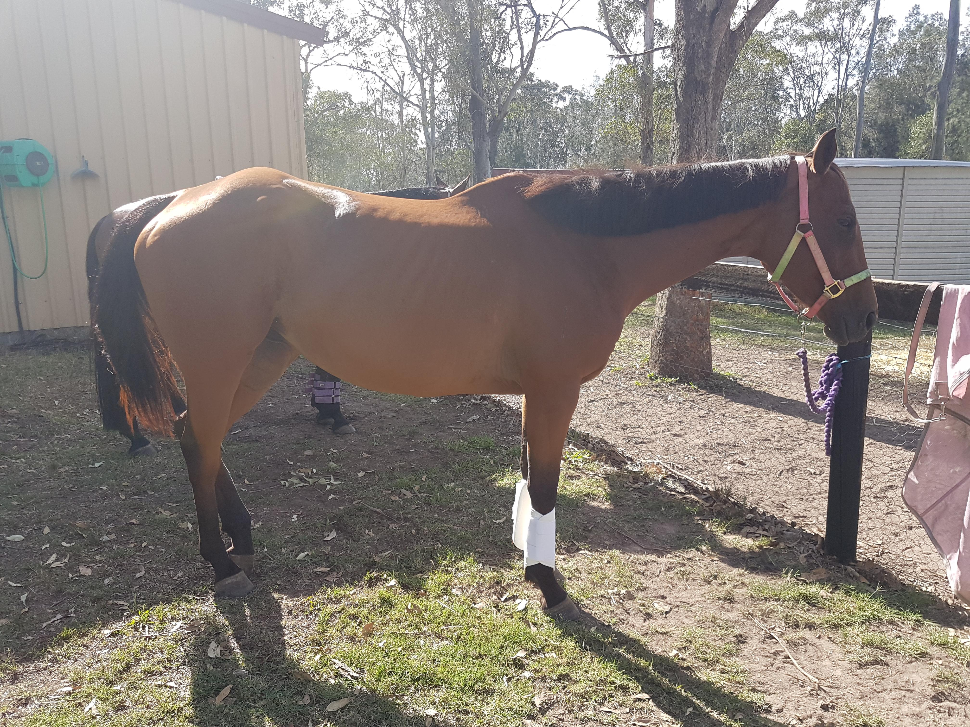 Sweet Thoroughbred bay mare 5yo
