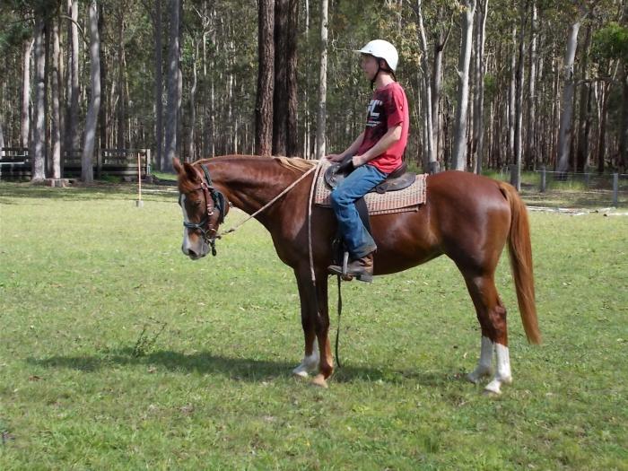 Stockhorse x Arab 11yo