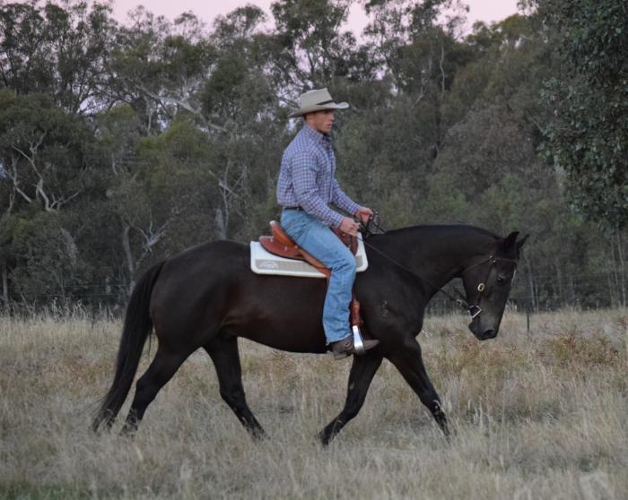 Lovely natured stock horse gelding