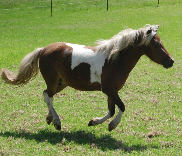 Miniature Horses For Sale - Fillies/Mares/Geldings