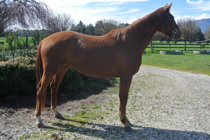 Price Reduced - Stunning Sir Donnerhall Filly