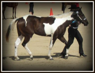Dam as a two yr old at show 2013