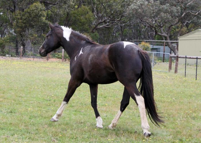 SMOKEY BLACK TOBIANO MARE IN FOAL