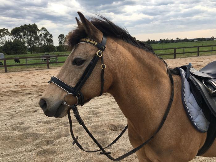 Buckskin Gelding 12.3hh Super Pony
