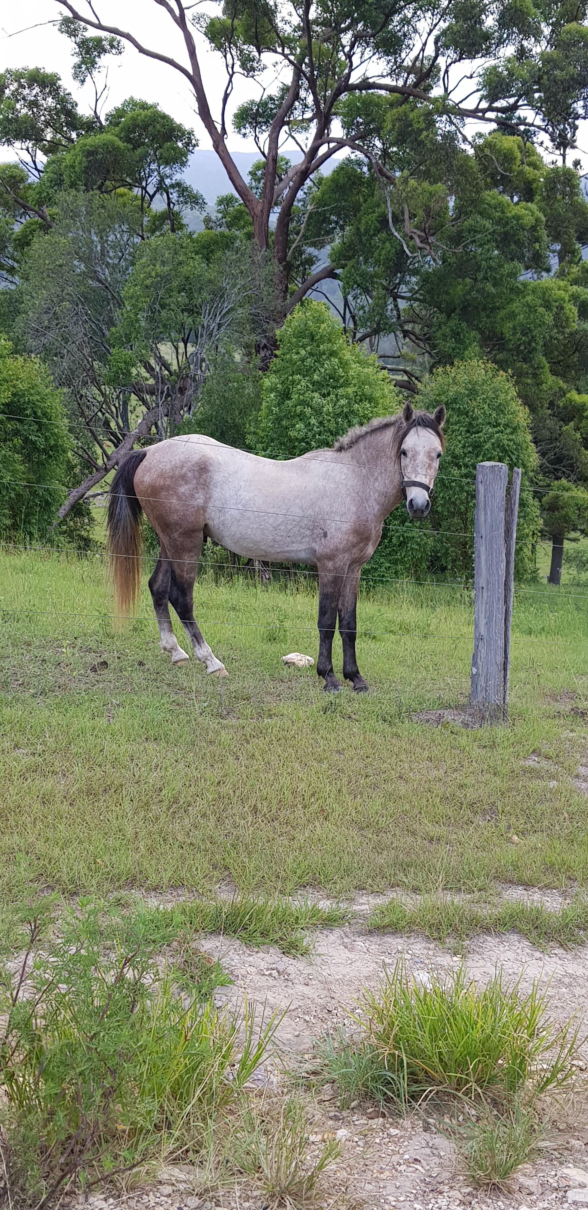 Grey pony gelding