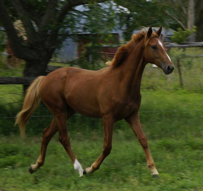 Stunning Fairbanks Rusty Gelding