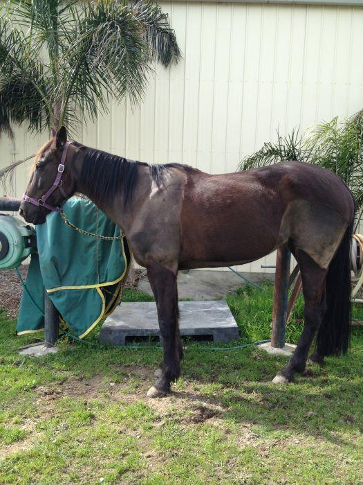 15.3hh 7yo Black STB mare