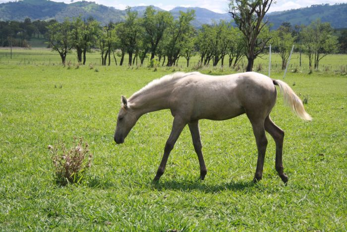 Show quality gelding - price reduced