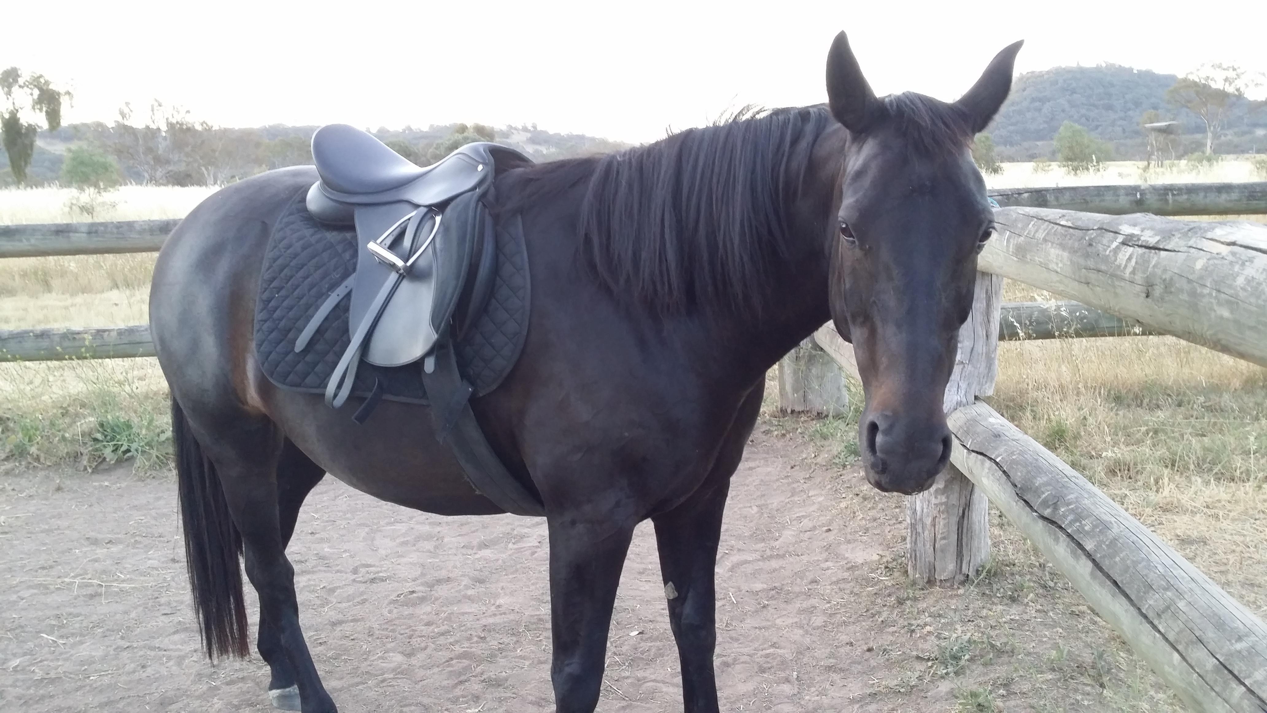 "wintec multi purpose adjustable gullett 17"" saddle for sale"