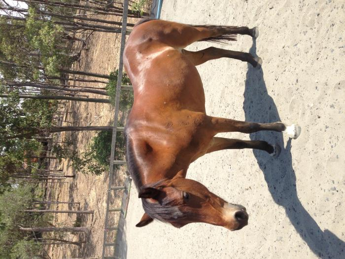 Fun Welsh Pony 13hh mare 16yrs